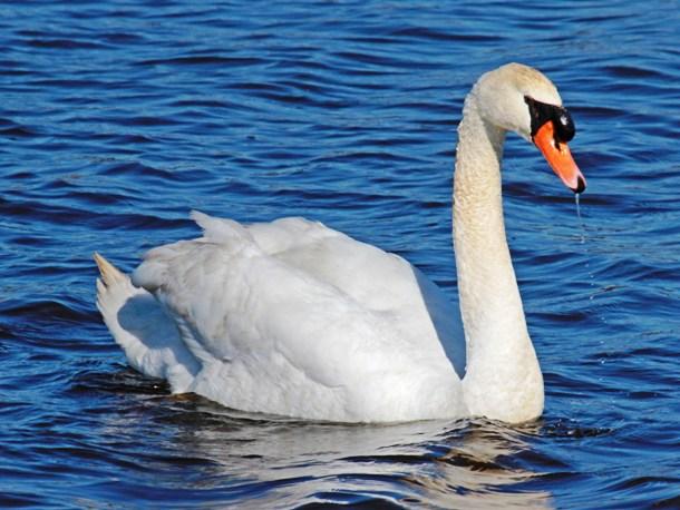 carolinabirds.org-Swan_Mute_Cape_May_2