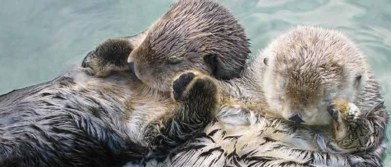 6.morskie-vidri