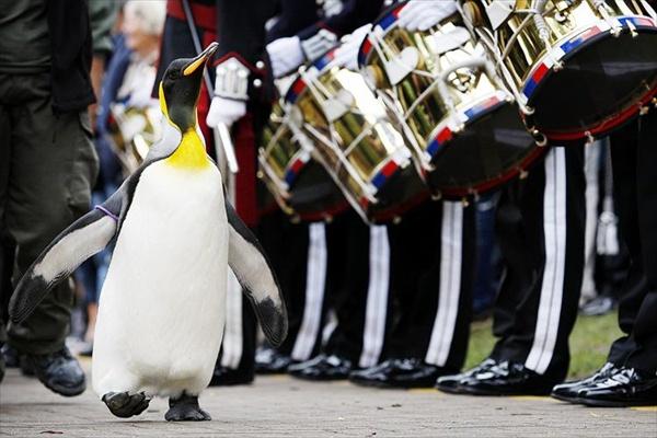 nils_olav_penguin_knighted01