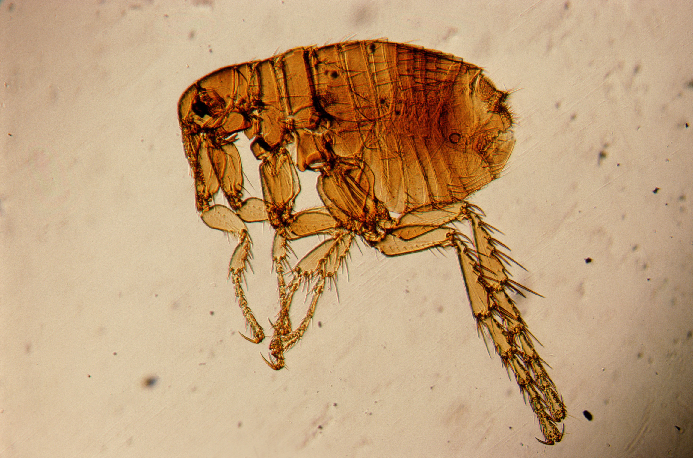 328882_bloxa_nasekomye_pod-mikroskopom_2313x1527_(www.GetBg.net)