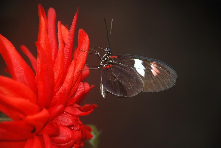 papilio-rumanzovia-butterfly-animal-87842-large